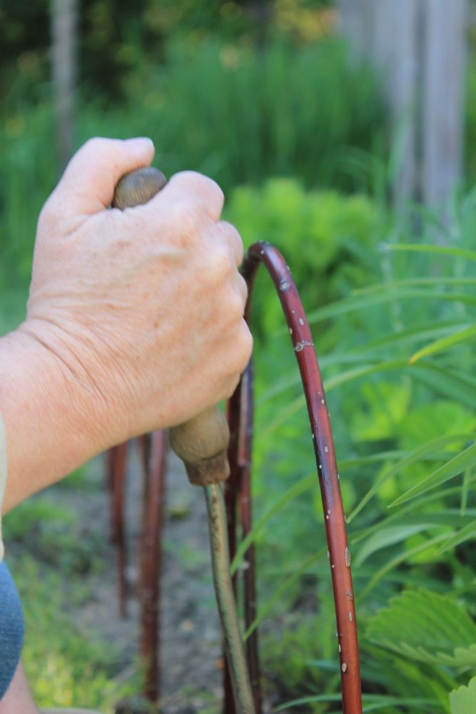 A Mother-Son Red Twigged Dogwood Fence (3/6)