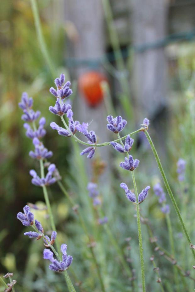 Lavender making a small comeback